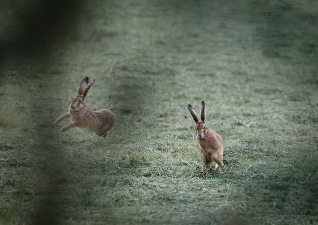 Colpo di messa a fuoco selettiva di due conigli che giocano sul campo in erba