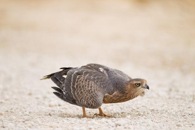 Colpo di messa a fuoco selettiva di un bellissimo falco in mezzo al deserto