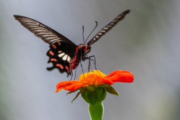 Colpo di messa a fuoco selettiva di una farfalla di coda forcuta sul fiore dai petali arancio