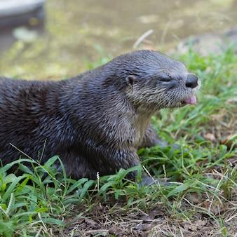 Colpo di messa a fuoco selettiva di una lontra di fiume nordamericana carina sdraiato sull'erba