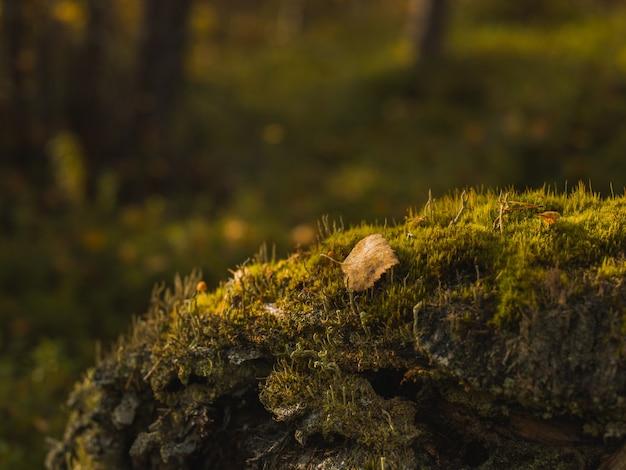 Colpo di messa a fuoco selettiva di una piccola foglia di autunno giallo caduto sulla pietra muscosa