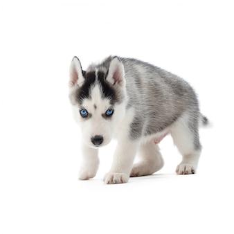 Colpo di un cucciolo adorabile del husky con gli occhi azzurri che cammina verso isolato su copyspace bianco.
