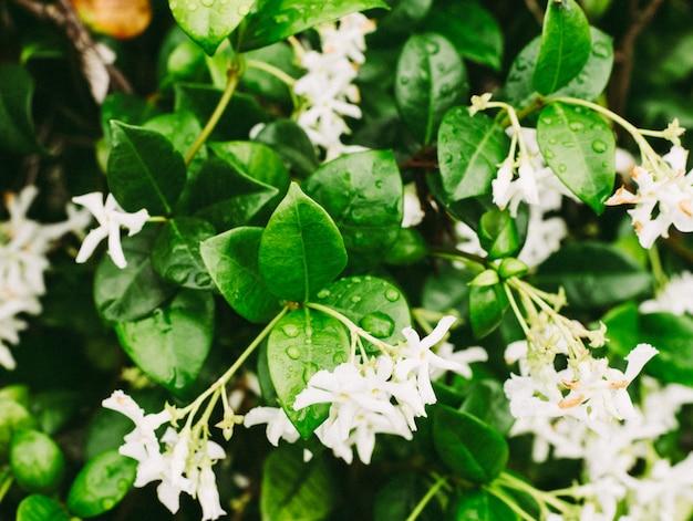 Colpo estremo del primo piano delle goccioline di acqua sulle foglie del fiore del gelsomino