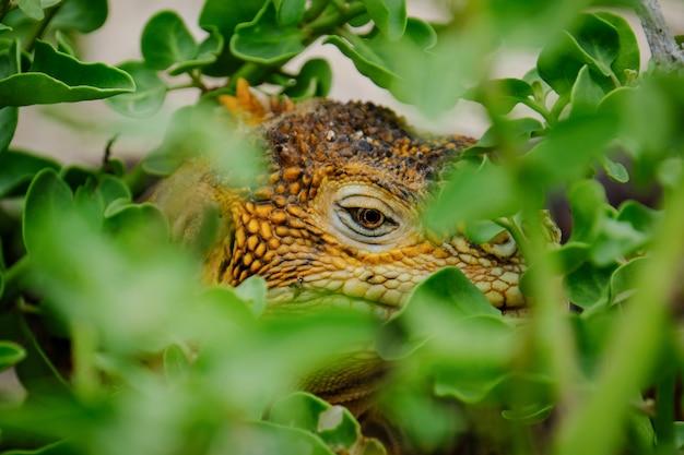 Colpo estremo del primo piano di un'iguana che si nasconde nelle piante