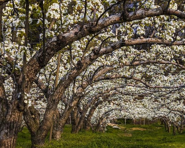 Colpo grandangolare del frutteto asiatico della pera in piena fioritura
