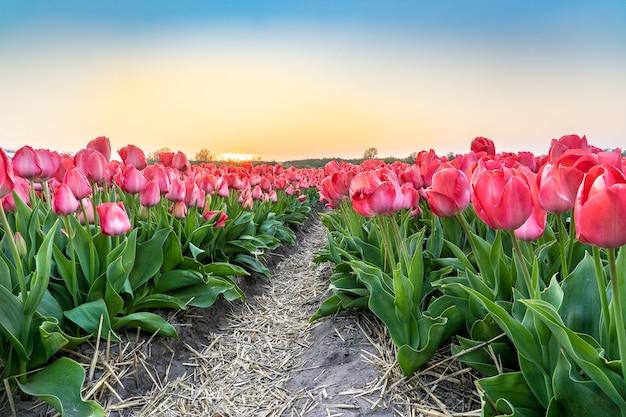 Colpo grandangolare di una piantagione di fiori di tulipano rosa bella sotto il bel cielo blu chiaro