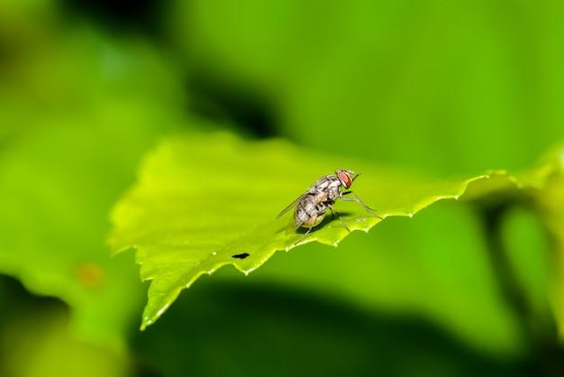 Colpo in volo, mosca selvatica, fiordalisi o mosca a grappolo