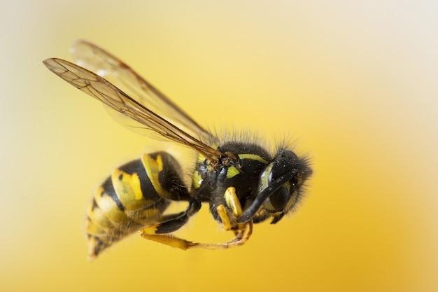 Colpo messo a fuoco primo piano selettivo di un'ape su una parete gialla