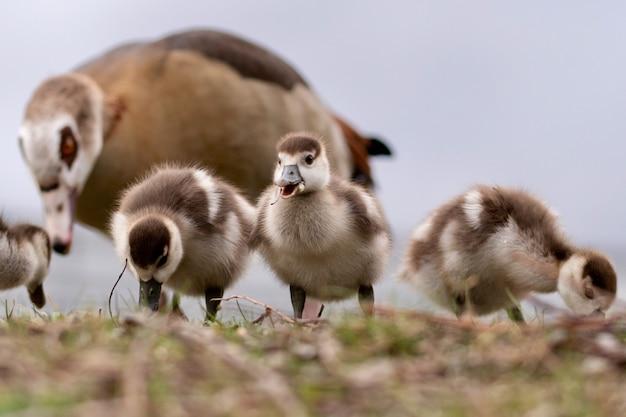 Colpo orizzontale delle anatre marroni sveglie del bambino con la loro madre sull'erba durante il giorno