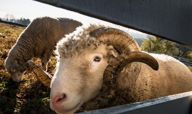 Colpo selettivo del primo piano delle pecore bighorn in un campo di erba