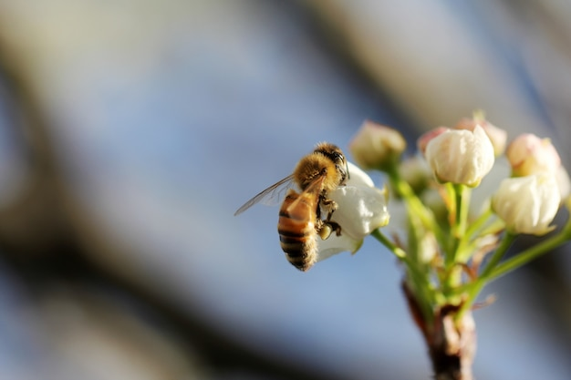 Colpo selettivo del primo piano di un'ape mellifica che raccoglie nettare su un fiore bianco