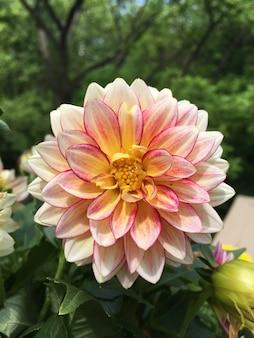 Colpo verticale del fuoco selettivo di un bel fiore della dalia in un giardino