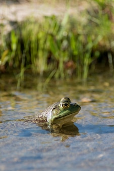 Colpo verticale del primo piano della testa di una rana con i grandi occhi in una palude