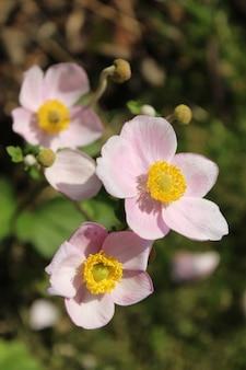 Colpo verticale del primo piano di bei fiori dell'anemone del raccolto