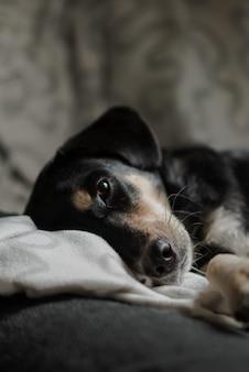 Colpo verticale del primo piano di un cane di compagno sveglio con gli occhi gentili che si trovano sul letto