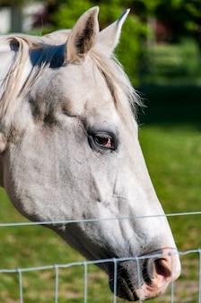 Colpo verticale del primo piano di un cavallo bianco