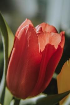 Colpo verticale del primo piano di un fiore rosso del tulipano che fiorisce un giorno soleggiato con fondo vago