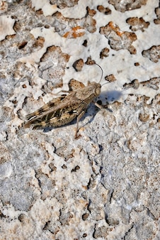 Colpo verticale del primo piano di un insetto del mayfly su una terra sabbiosa