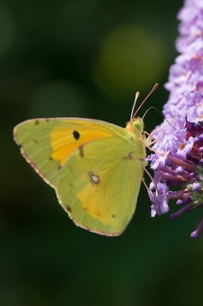 Colpo verticale del primo piano di una farfalla verde sul fiore della lavanda