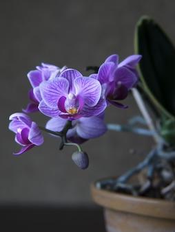 Colpo verticale del primo piano di una pianta di fioritura di phalaenopsis amabilis viola