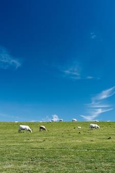 Colpo verticale delle mucche in un campo erboso con un cielo blu di giorno in francia