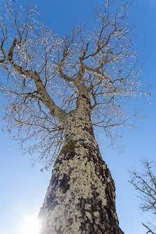 Colpo verticale di angolo basso di grande albero nudo coperto di muschio sotto il cielo in istria, croazia