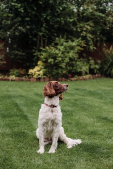 Colpo verticale di un cane bianco e marrone con guinzaglio rosso sull'erba verde, guardando al lato