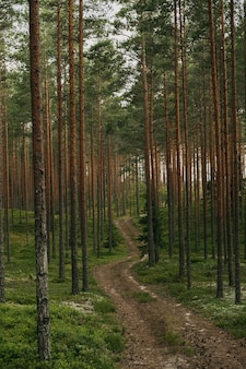 Colpo verticale di un percorso nella foresta di abeti rossi