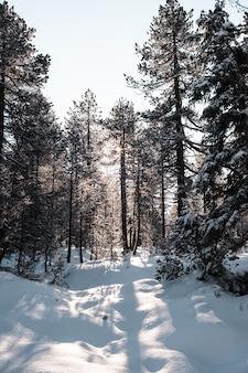 Colpo verticale di una foresta con alberi ad alto fusto in inverno