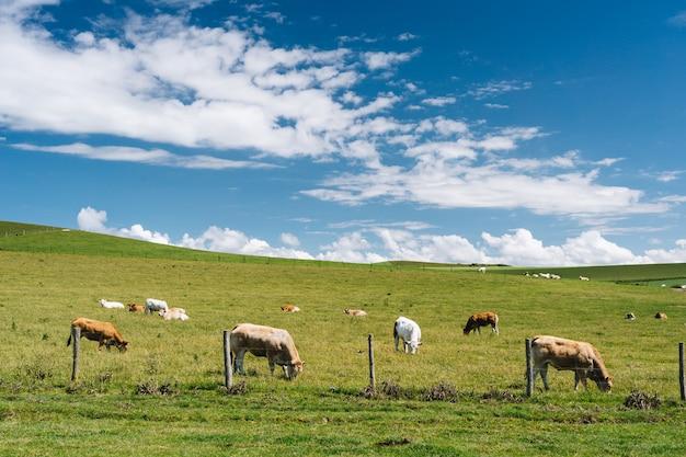 Colpo vicino delle mucche nel campo erboso sotto un cielo nuvoloso blu di giorno in francia