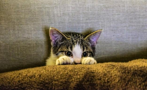 Colpo vicino di un gattino sveglio dietro una coperta
