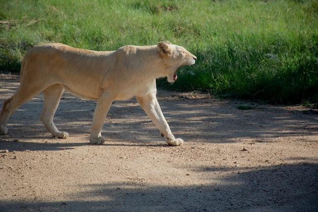 Colpo vicino di un leone che cammina e che grida vicino ad un campo erboso un giorno soleggiato