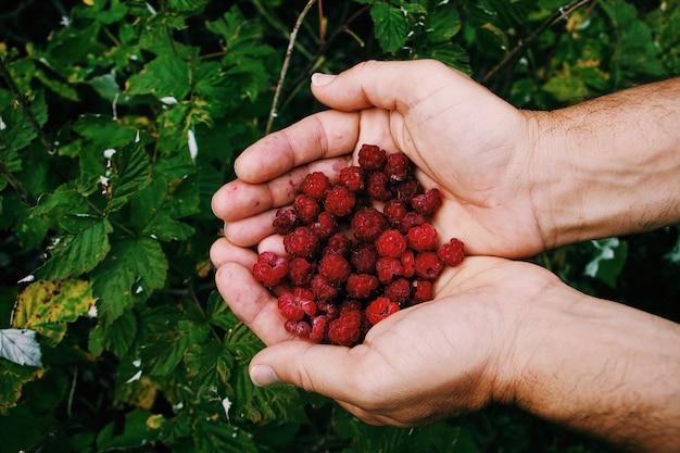 Colpo vicino di una persona che tiene i loganberries