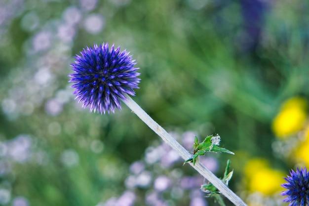 Colpo vicino di una pianta viola con uno sfocato