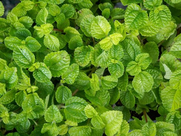 Coltivare la pianta verde menta