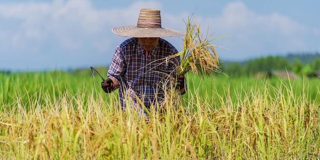 Coltivatore asiatico che lavora nel giacimento del riso sotto il cielo blu
