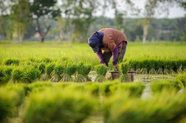 Coltivatore asiatico che lavora nella fattoria di riso
