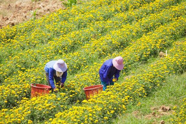 Coltivatore che mantiene il fiore del tagete, lopburi tailandia