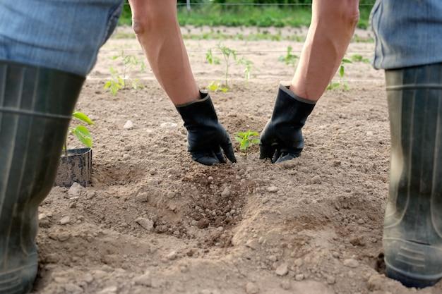 Coltivatore che pianta le piantine del pepe