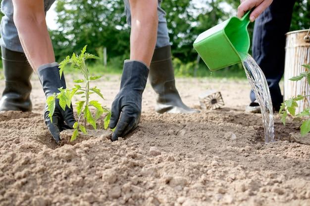 Coltivatore che pianta piantine di pomodoro