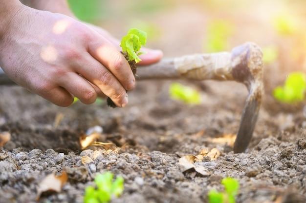 Coltivatore che pianta semenzali di lattuga