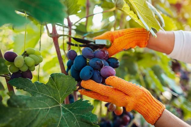 Coltivatore che raccoglie il raccolto dell'uva in azienda agricola, donna che taglia l'uva da tavola blu con il potatore