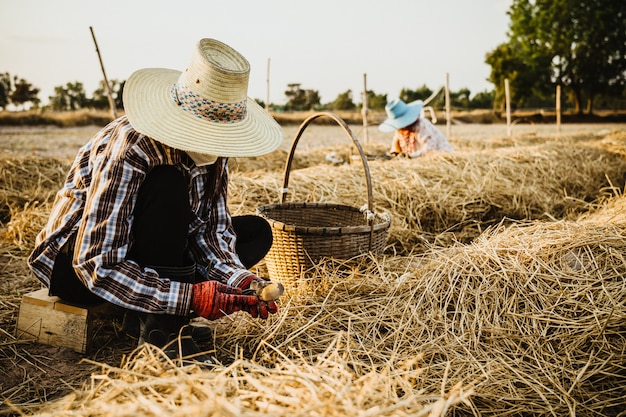 Coltivatore che taglia terreno dai funghi di paglia in azienda agricola