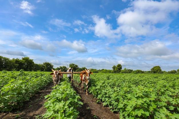 Coltivatore indiano che lavora con il toro nel suo campo di cotone
