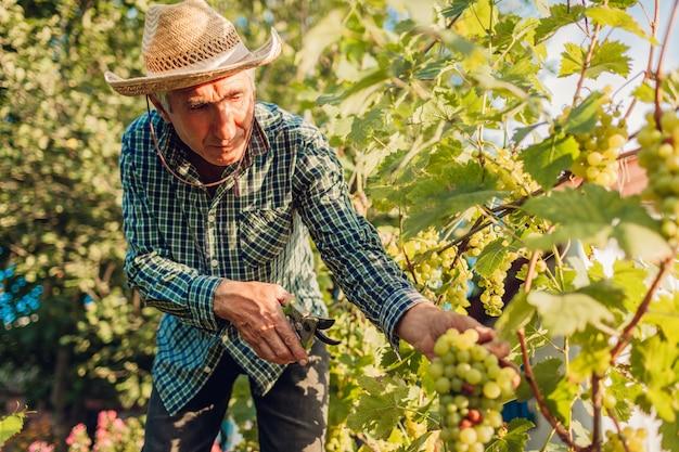 Coltivatore raccolta raccolto di uva in fattoria ecologica. uva di taglio dell'uomo senior con potatore