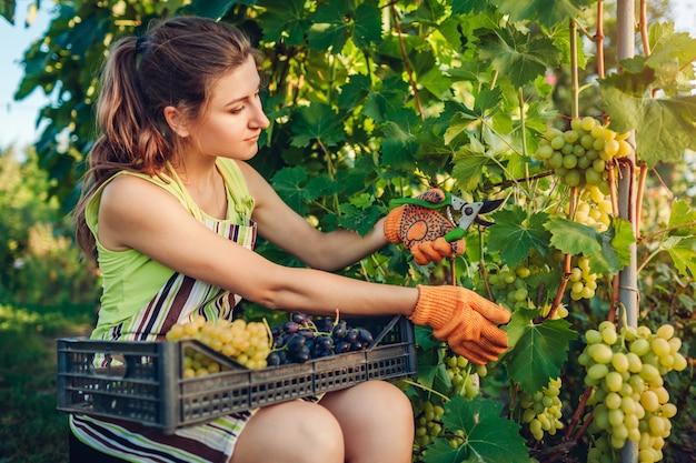 Coltivatore raccolta raccolto di uva in fattoria ecologica.