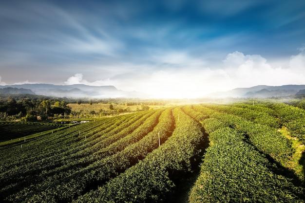 Coltivazione della collina di tramonto del paesaggio del giardino del tè verde