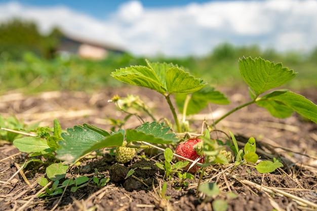 Coltivazione di fragole senza chimica in un'azienda agricola biologica