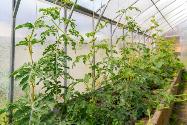 Coltivazione di pomodori verdi in serra. raccogli verdure.