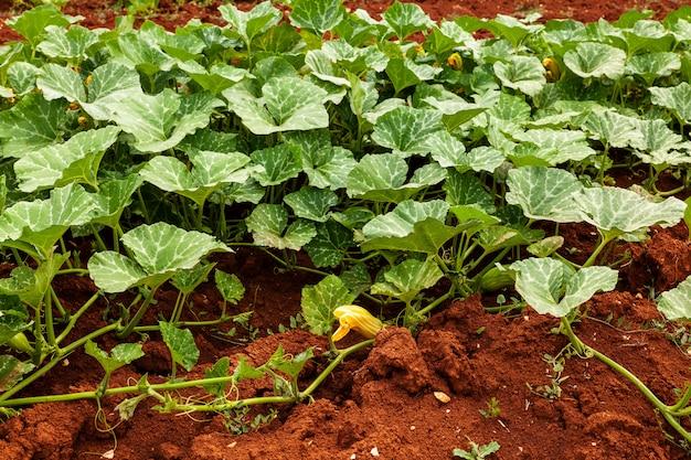 Coltivazione di zucchine biologiche